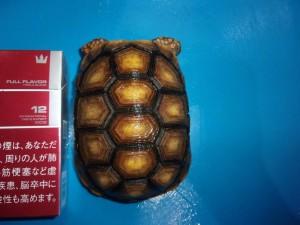 アカアシリクガメ(色変) 【24,800円/税別】